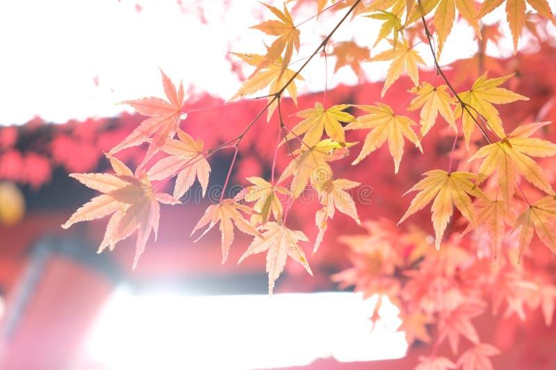 Jesienne liście w japonii obraz royalty free