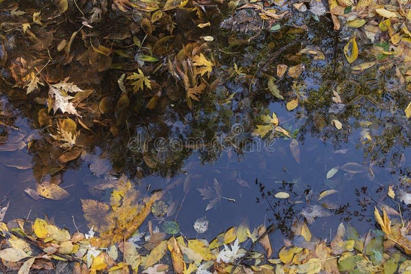 Jesienne tło upadłych liści w kałuży i odbicie obraz stock