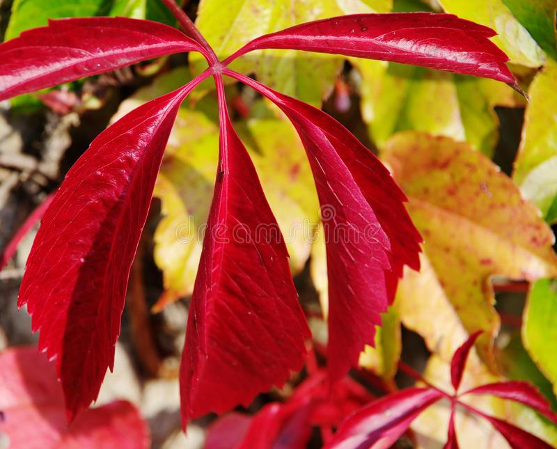 Jesienni liście płowiejąca głęboko - czerwień zdjęcie royalty free