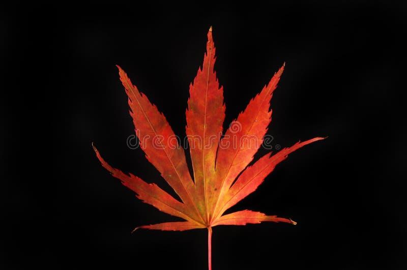 Jesienny acer liść przeciw czerni fotografia royalty free