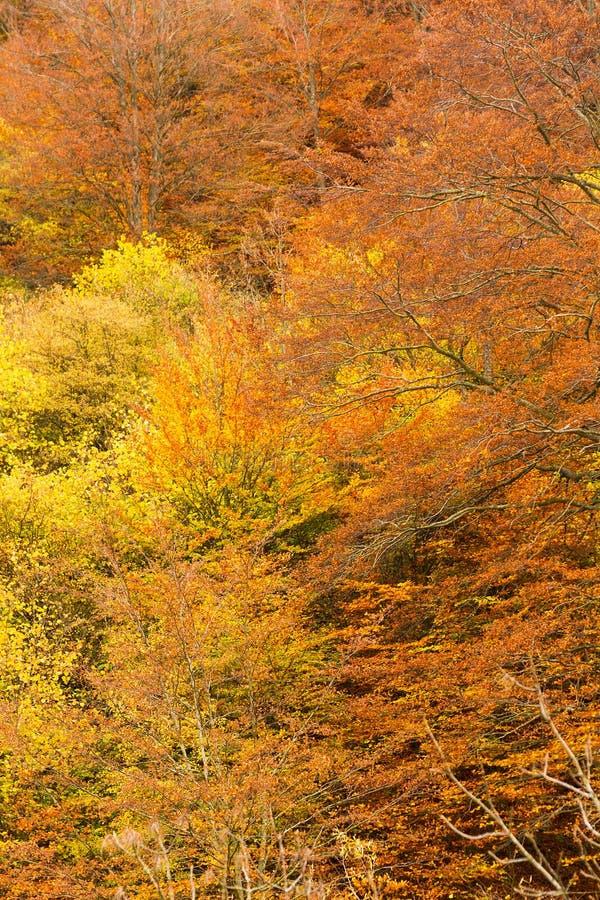 Jesienny bukowy ulistnienie fotografia stock