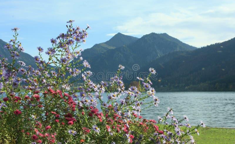 Jesienny flowerbed z wysokogórskim asterem, jeziorny schliersee, bavaria obrazy stock