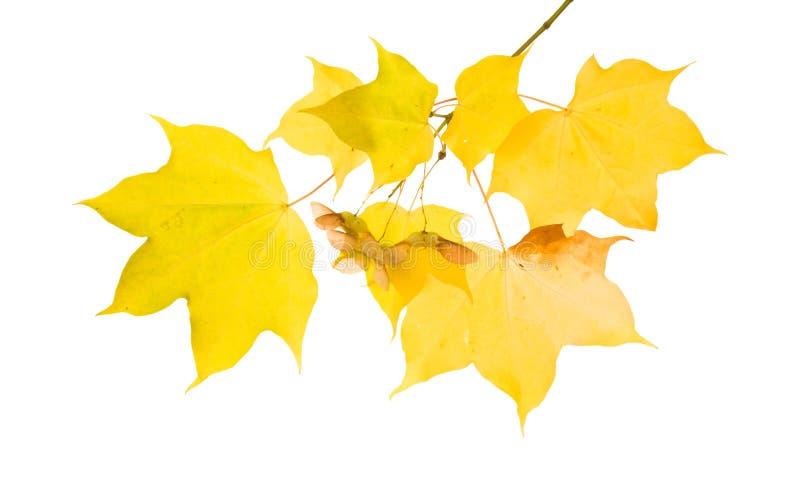 jesienny gałęziasty klon zdjęcia stock