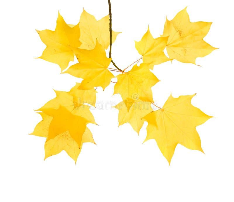 jesienny gałęziasty klon fotografia stock