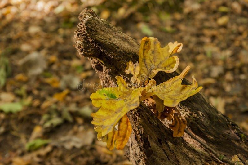 Jesienny kolorowy liść na drzewnym bagażniku zdjęcia stock