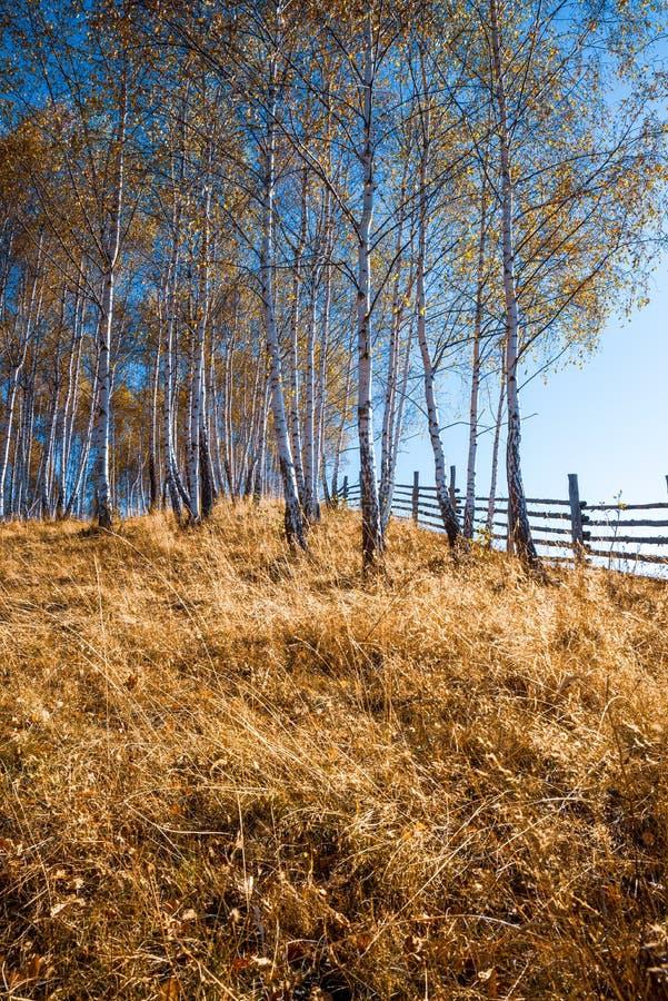 Jesienny las brzozowy obrazy stock