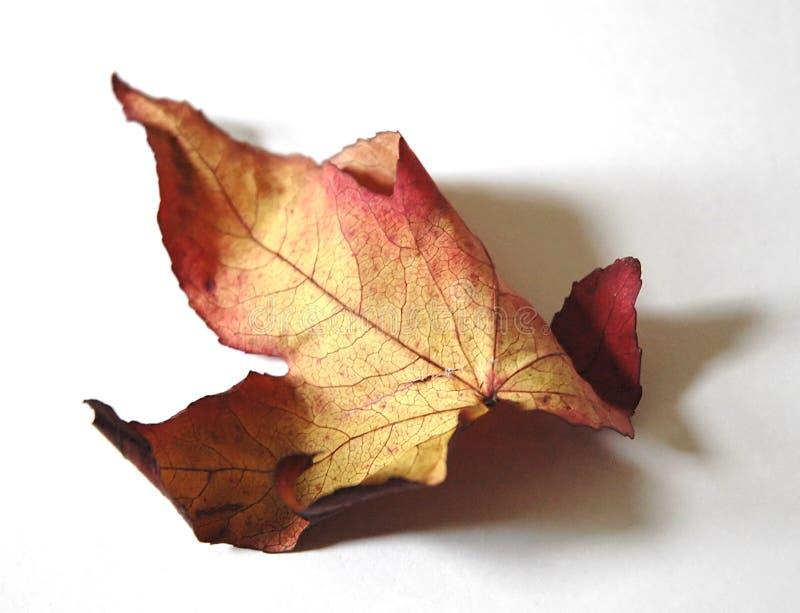 jesienny liść fotografia royalty free