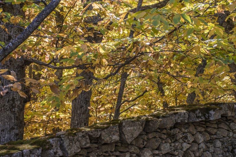 Jesienny szczegół cisawi drzewa w lesie zdjęcie stock