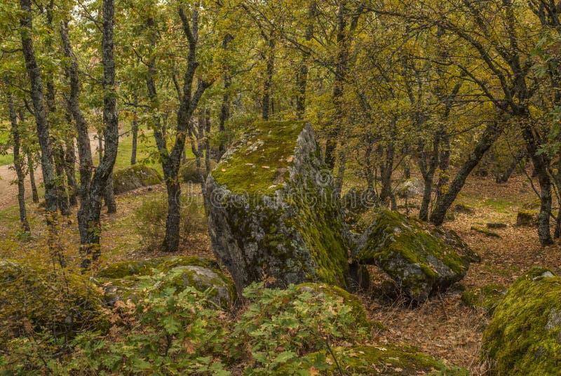 Jesienny szczegół losu angeles Herreria dębowy las, San Lorenzo Del Escor fotografia stock