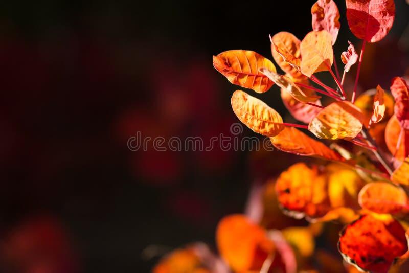 Jesienny tło dowcipu czerwieni ulistnienie zdjęcia stock