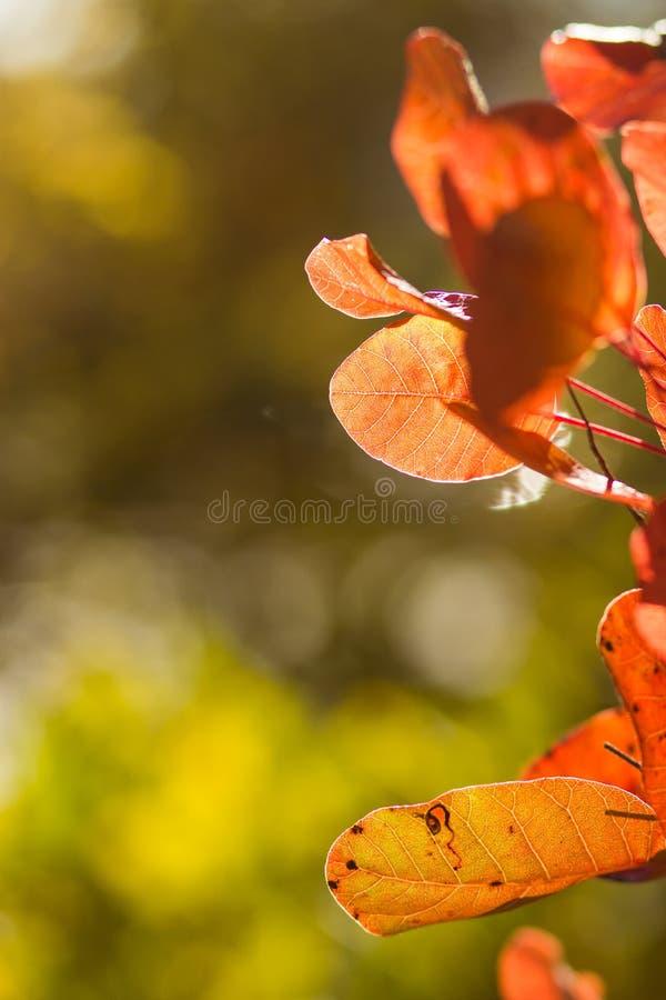 Jesienny tło dowcipu czerwieni ulistnienie obrazy stock