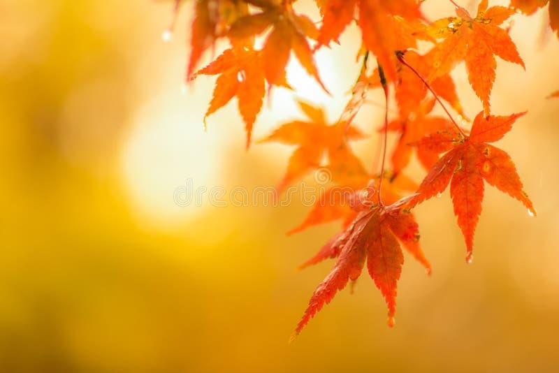Jesienny tło, nieznacznie defocused czerwoni liście klonowi z wa zdjęcie royalty free