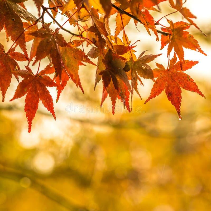 Jesienny tło, nieznacznie defocused czerwony marple opuszcza z w zdjęcie stock