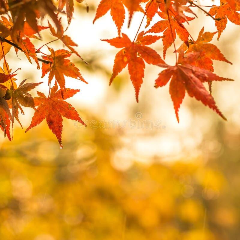 Jesienny tło, nieznacznie defocused czerwony marple opuszcza z w zdjęcia royalty free