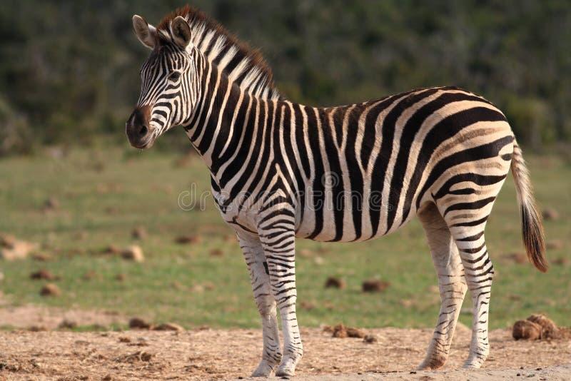 jest burchell zebra zdjęcie stock