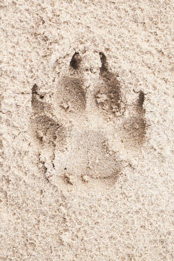 Jest prześladowanym łapa odcisk na piasku, w górę obrazy royalty free