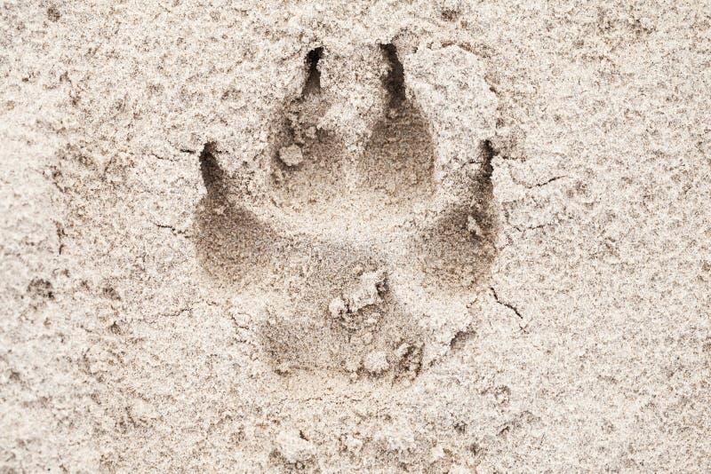 Jest prześladowanym łapa odcisk na piasku, zakończenie w górę zdjęcia stock