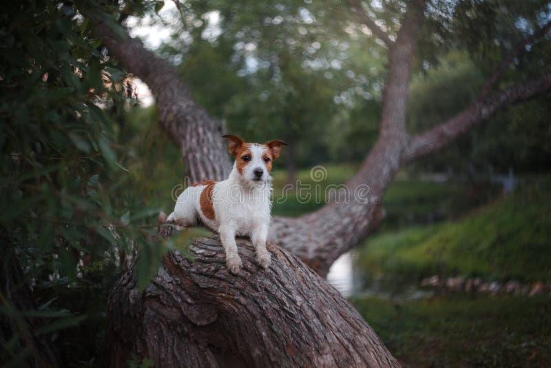 Jest prześladowanym outdoors w drzewnym outside, traken Jack Russell Terrier zdjęcia royalty free