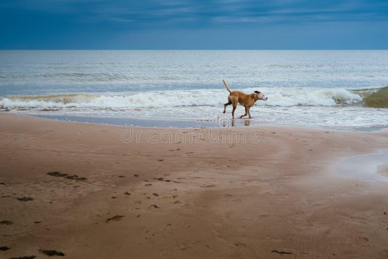 Jest prześladowanym szczęśliwie biegać na plaży na letnim dniu zdjęcie stock