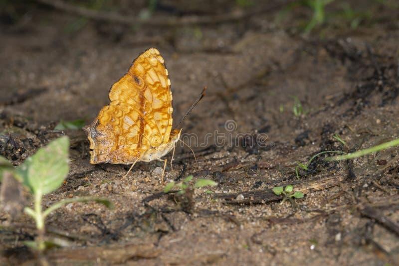 Jester Butterfly comum em montes de Garo, Meghalaya, Índia fotografia de stock royalty free