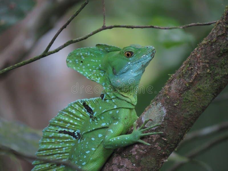 Jesus Christ Lizard immagine stock libera da diritti