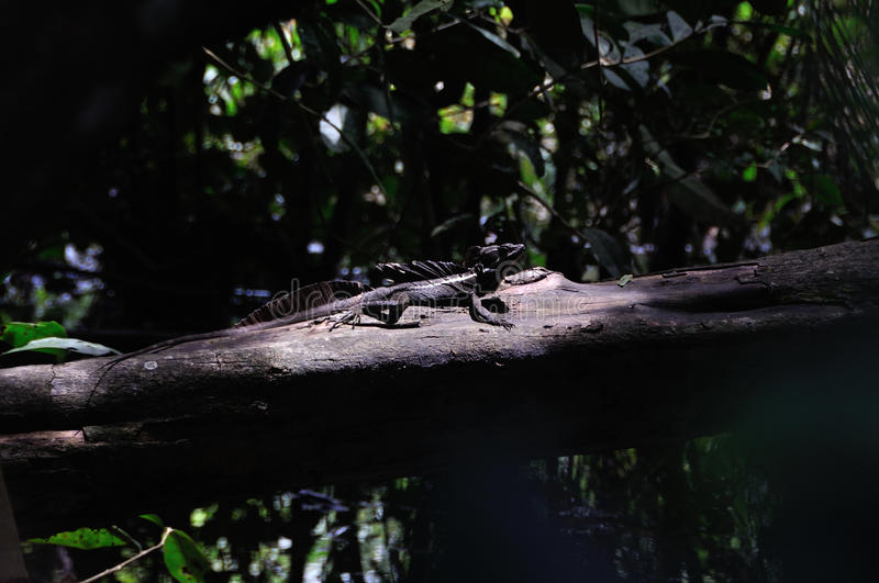 Jesus Christ Lizard in Costa Rica. Common basilisk on a log in Costa Rica royalty free stock photography