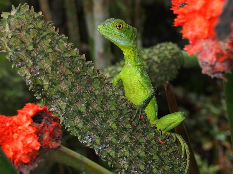 Jesus Christ lizard in Costa Rica stock photography
