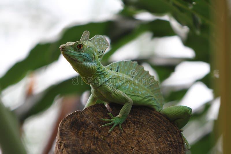 Jesus Christ Lizard verde imagem de stock royalty free