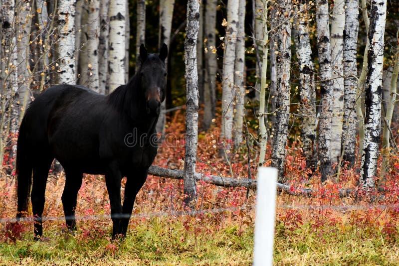 Jet Black Horse royalty-vrije stock afbeeldingen