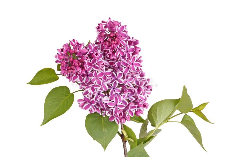 Jet des fleurs lilas pourpres et blanches d'isolement contre le blanc image libre de droits