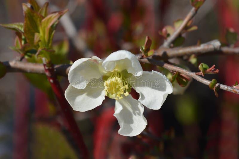 Jet Trail Flowering Quince royalty-vrije stock fotografie