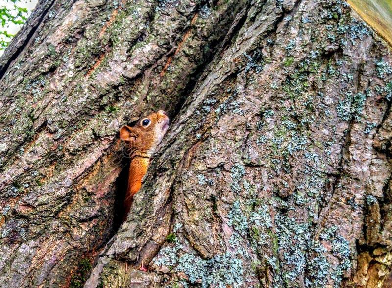 Jeter un coup d'oeil l'écureuil images libres de droits