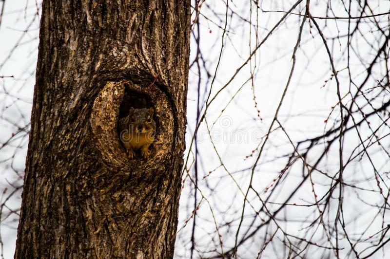 Jeter un coup d'oeil l'écureuil photographie stock