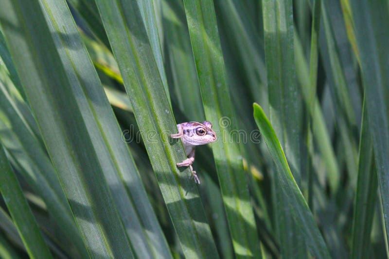 Jeter un coup d'oeil la grenouille image libre de droits