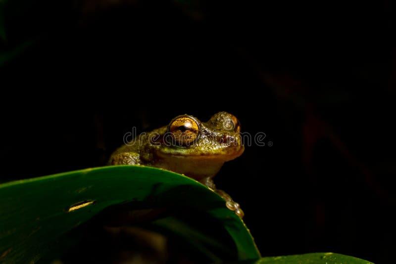 Jeter un coup d'oeil la grenouille de brume photos stock