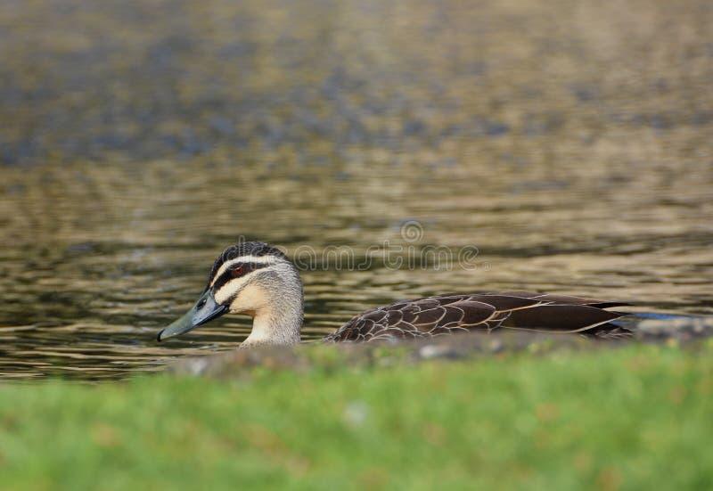 Jeter un coup d'oeil le canard sur un étang image libre de droits
