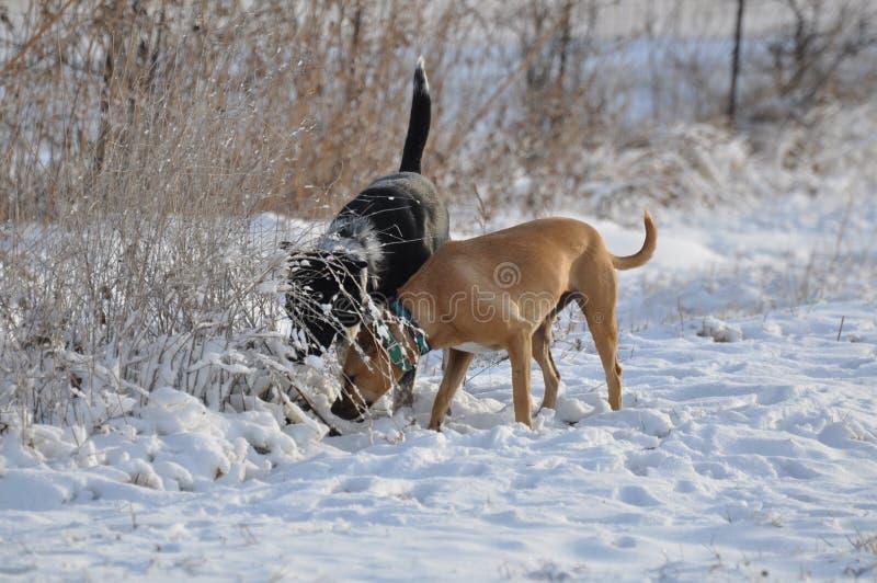 Jethro & miele, cercare nella neve fotografie stock libere da diritti