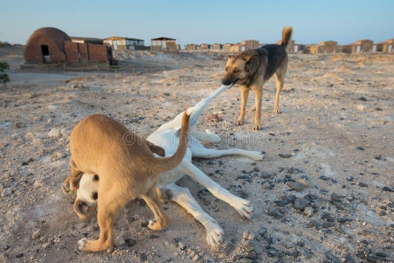 Jeu égyptien de chiens de rue photo stock