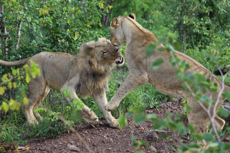 Jeu adolescent de lions combattant en parc national de Hwage, Zimbabwe photos libres de droits