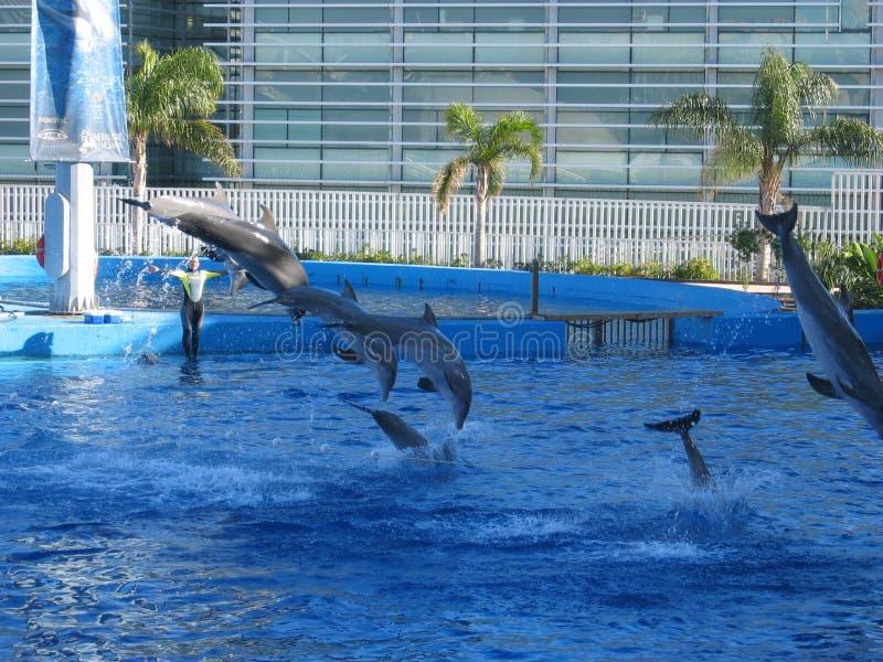 Jeu avec les dauphins photo stock