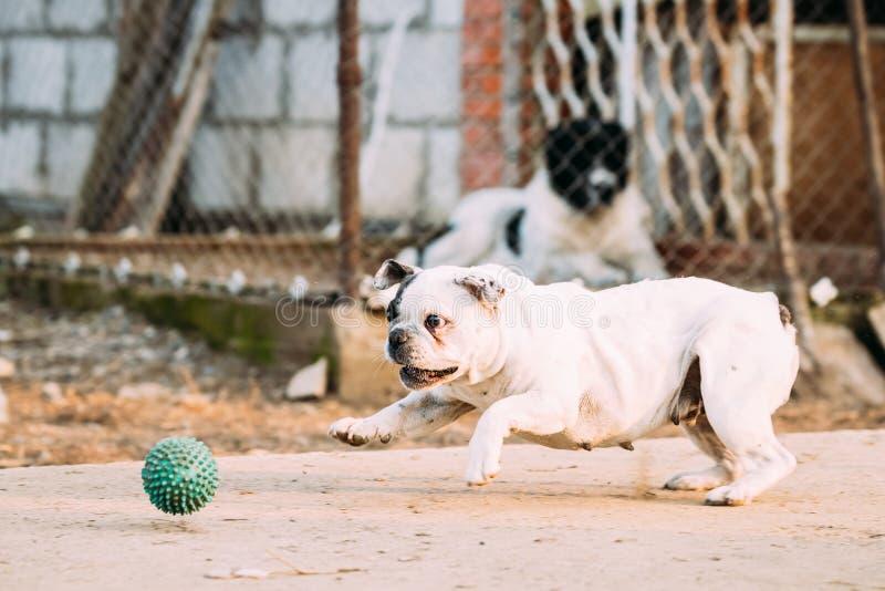 Jeu blanc de chien de bouledogue français avec la boule dans la cour image stock