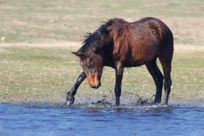 Jeu brun sauvage de cheval à l'eau photographie stock