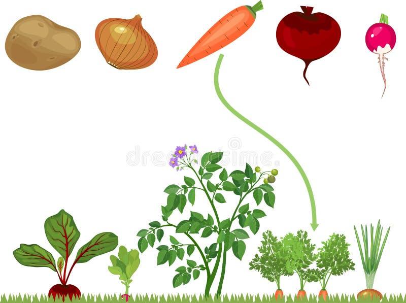 Jeu d'assortiment éducatif d'enfants pour des enfants Légumes sur le carré de légumes illustration stock