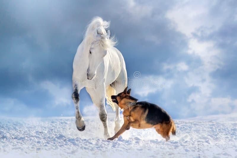 Jeu de cheval blanc avec le berger allemand photographie stock libre de droits