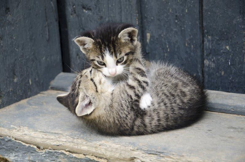 Jeu de deux chats image libre de droits