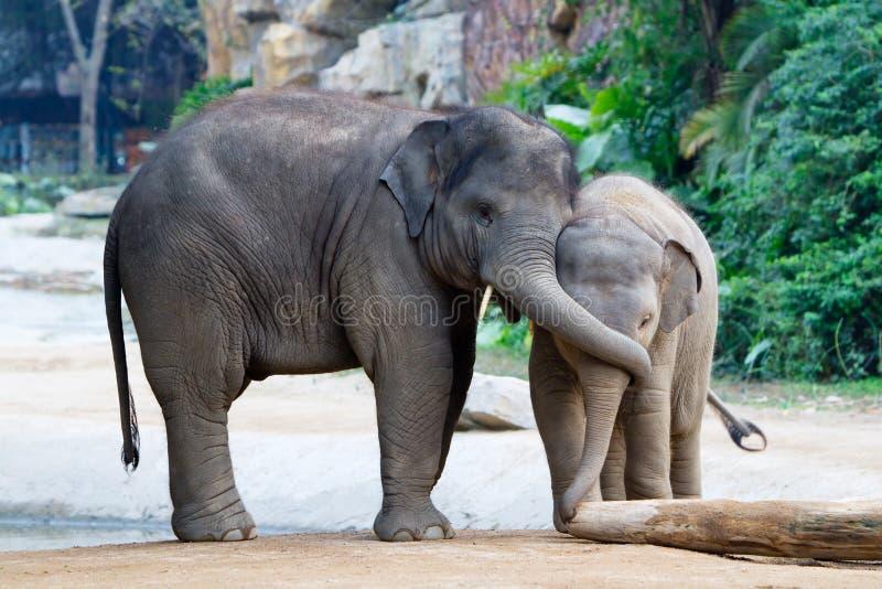 Jeu de deux jeune éléphants photos stock