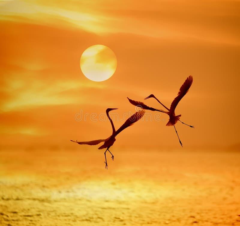 Jeu de hérons dans le coucher du soleil images libres de droits