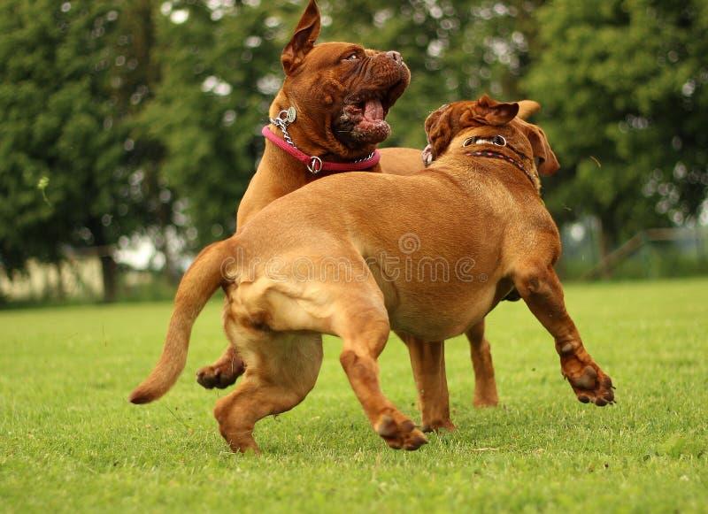 Jeu de jeu de Dogue de Bordeaux photos stock