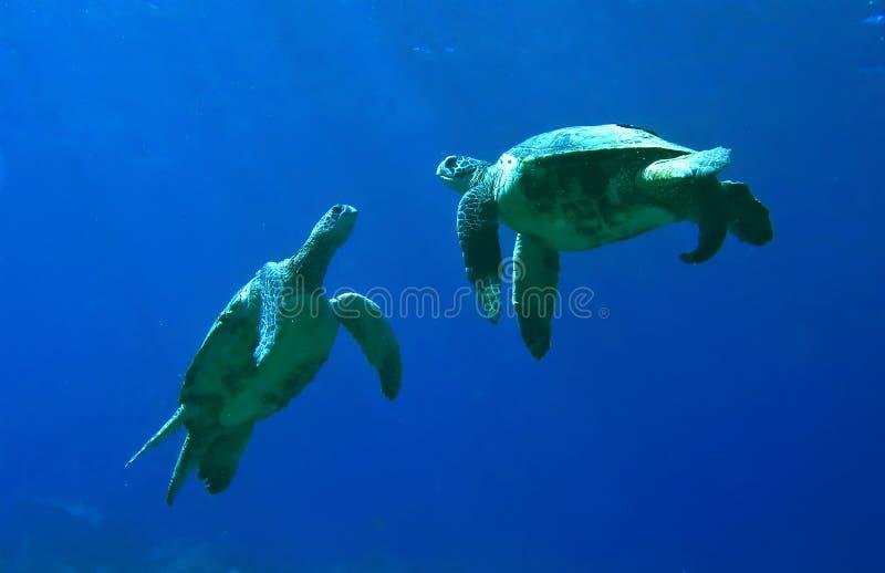 Jeu de tortues de mer verte images libres de droits