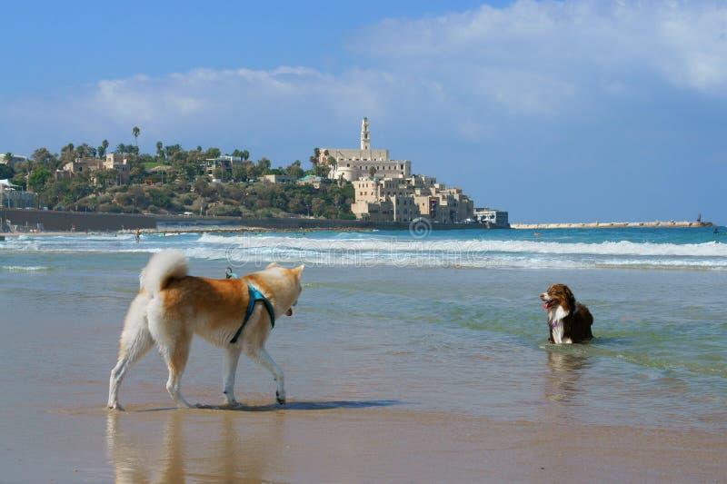 Jeu drôle de chiens sur la plage en Charles Clore Park Tel Aviv photo stock